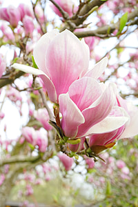 closeup photo of pink magnolias at daytime