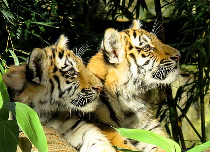 two tigers lying on grass