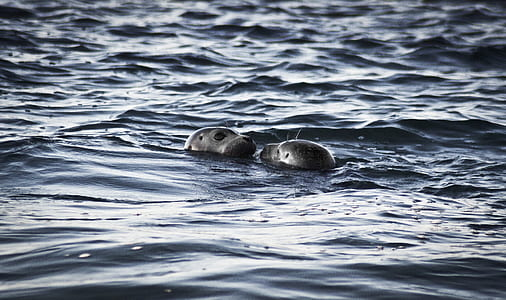 Two Sea Lions in Ocean at Daytime