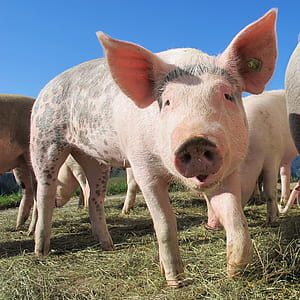 close up photography of pig graphic wallpaper