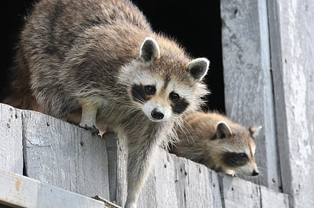 two brown raccoons on gray wooden planks