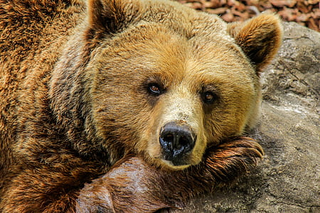 closeup photo brown grizzly bear at daytime