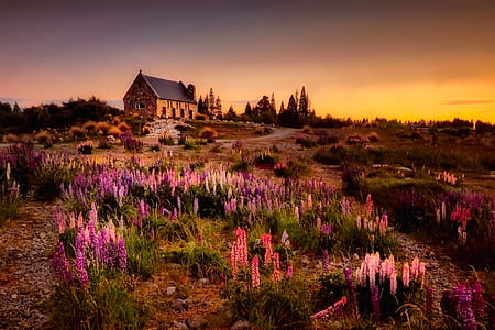 purple and pink lavender flower field