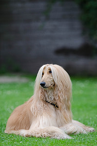 adult fawn and tan Afghan hound
