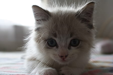 closeup photo of long-fur gray kitten