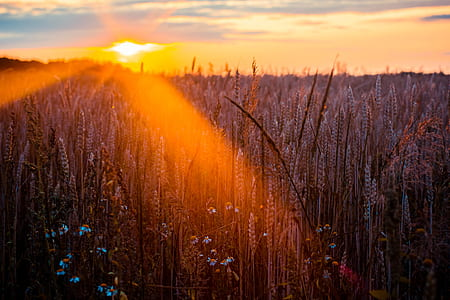 Photography of Wheat