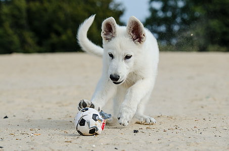 white dog playing with ball during daytime