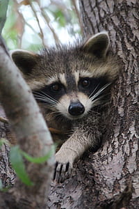 gray and black raccoon on gray tree trunk at daytime