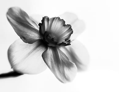 grayscale focus photography of 3-petaled flower