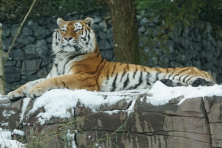 tiger lying on rock coated with snow