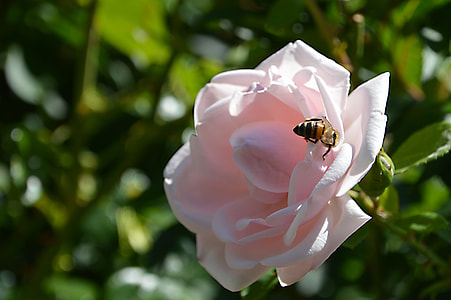 honeybee perched on pink rose flower in closeup photography