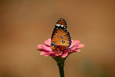 tilt shift lens photography of brown and black tiger striped butterfly on pink flower