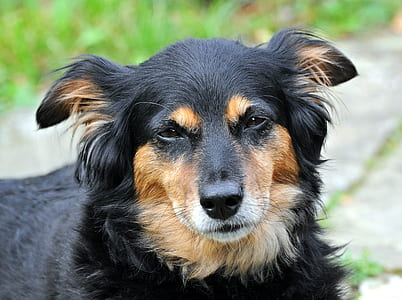 closeup photography of long-coated black and tan dog