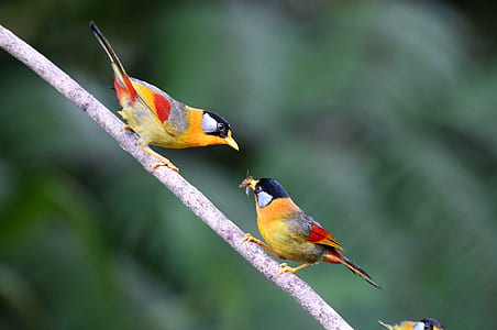 two yellow-and-black birds