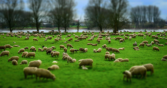 brown sheep on green grass field