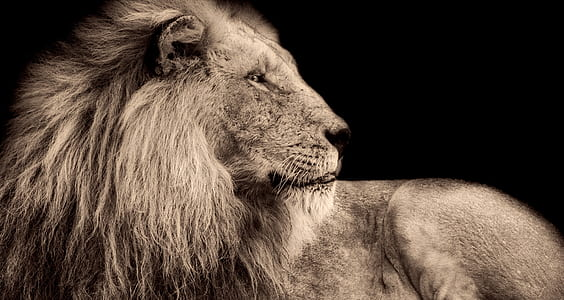 lion, male, wildlife, predator, africa, macro