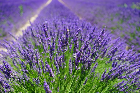 blue lavender field selective-focus photo at daytime