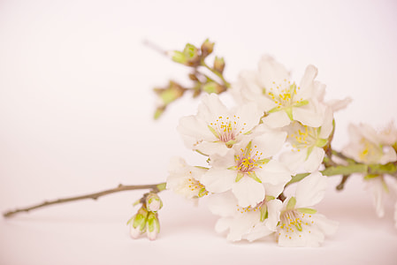 white cherry blossoms in closeup photo