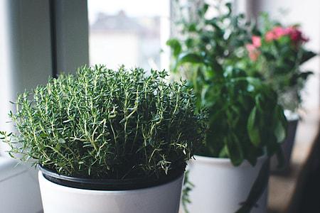Fresh thyme in a window