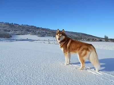 brown and white Siberian Husky on snow