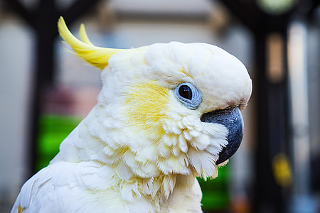 focus photography of sulphur-crested cockatoo