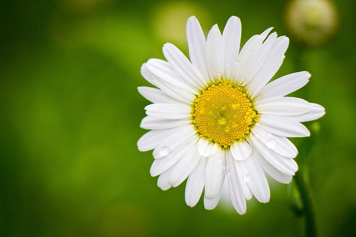 white daisy flower in closeup photo