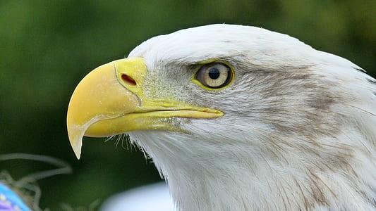 selective focus photography of bald eagle