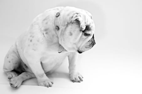 adult white and black English bulldog
