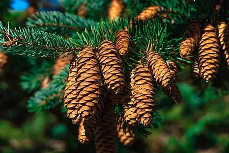 shallow focus of brown pine cones