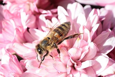 honeybee on pink petaled flower
