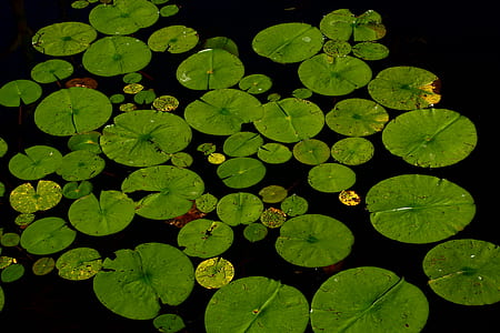 lily pods on water