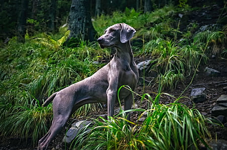 adult gray weimaraner near grass and trees