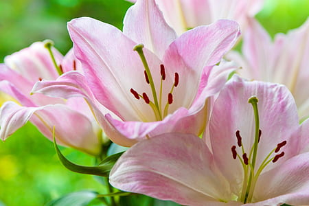selective focus photography pink lily flowers