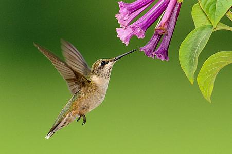 gray and green hummingbird