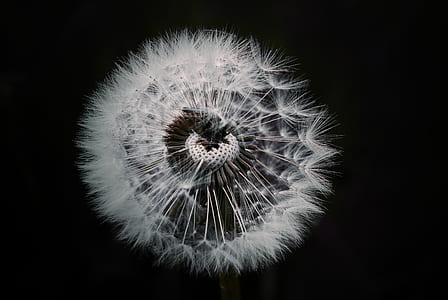 macro close-up photography of white dandelion flower