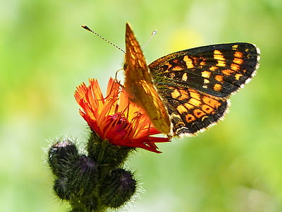fritillary butterfly perched on red petaled flower in closeup photography