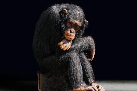 chimpanzee sitting on chair