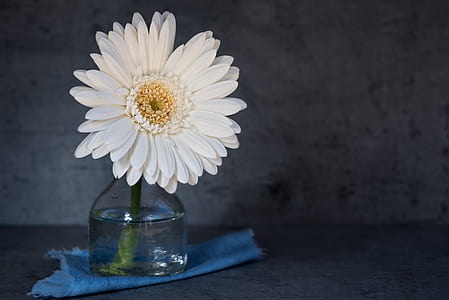 white Gerbera daisy in clear glass vase close up photo
