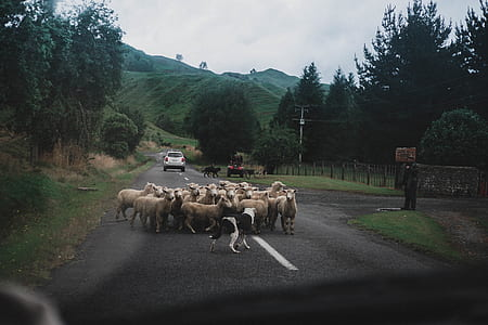 group of lamb on the street