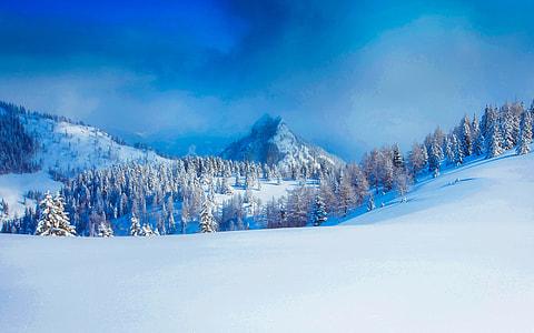 pine trees during winter season photo