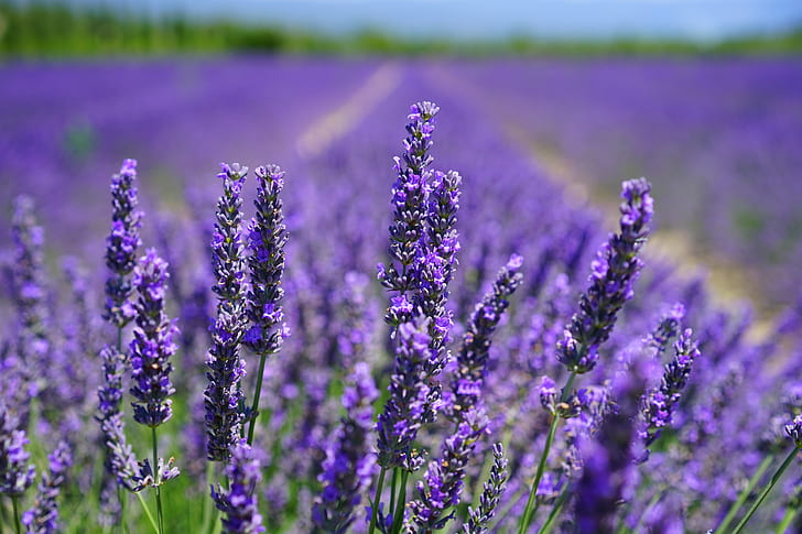 Royalty Free Photo Purple Lavender Flower Field In Selective