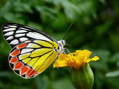 white and yellow butterfly perched on yellow petaled flower
