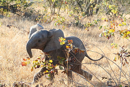 baby elephant walking on brown grass