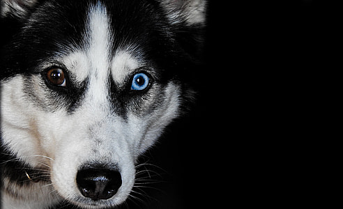odd eyed Siberian husky