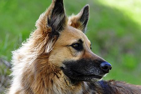 adult German shepherd