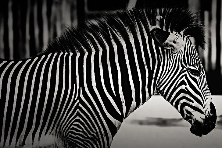 Closeup shot of a zebra