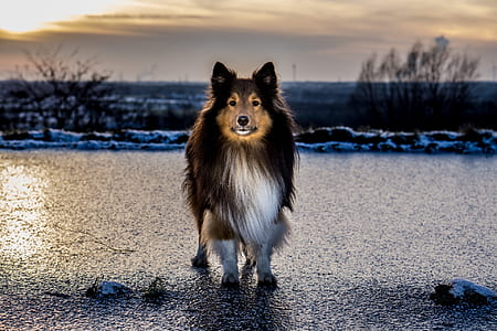 tricolor Shetland sheepdog closeup photography