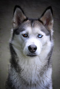 Siberian husky with different eyes