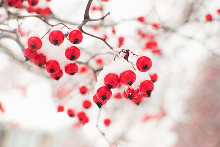 close up photography of round red fruits