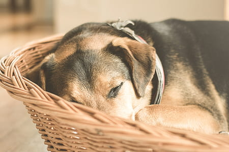 sleeping short-coated black and brown dog in wicker brown dog bed